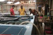 Pandemi COVID-19, Bisnis Benur Vaname di Aceh Lesu
