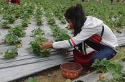 Wisata Petik Buah Strawberry di Lereng Gunung Lawu, Begini Sensasinya