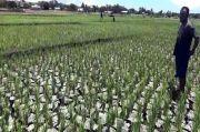 Awas, Kekeringan Akibat Musim Kemarau Landa Wilayah Sumba Timur