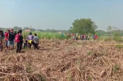 Mayat Perempuan Membusuk di Ladang Tebu Hebohkan Mojokerto