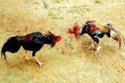 Komplek Pemda DKI Digerebek Polisi, Penjudi Sabung Ayam Berhamburan