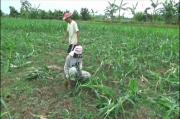 Hama Tikus Serang Tanaman Jagung, Petani Tuban Gagal Panen