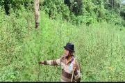 2 Hektare Ladang Ganja Ditemukan di Perbukitan Tor Sihite