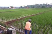 Pupuk Bersubsidi Sempat Hilang, Petani Terpaksa Beli Pupuk Nonsubsidi