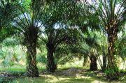 Status Lahan Tak Jelas, Ratusan Hektare Kebun Sawit di Kampar Riau Terbengkalai