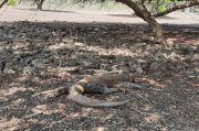 Sederet Fakta Komodo, Hewan Pulau Rinca yang Disulap Jadi Jurassic Park