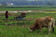 Diterjang Badai La Nina, Tahan Pakai Benih Padi Anti Genangan