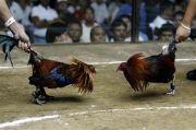 Gerebek Sabung Ayam, Polisi Ini Justru Dibunuh Ayam Aduan