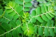 Tiga Bahan Herbal Ini Bisa Dimanfaatkan untuk Perkuat Imun Tubuh