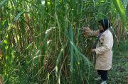 UGM-BATAN Kembangkan Rumput Gama Umami yang Super Unggul, Ini Hasilnya