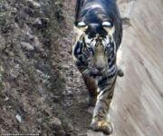 Sudah Dinyatakan Punah, Harimau Hitam Langka Tiba-Tiba Nongol