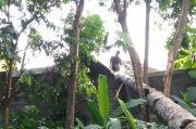 Pohon Kelapa Tumbang Timpa Rumah Warga Seyegan Sleman