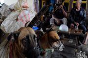 Edan, Anjing dari Jawa ke Sumatera Capai 2.000 Ekor per Bulan