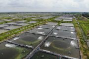 Demi Tegaknya Produksi Udang Lokal, KKP Berseluncur ke Hawaii