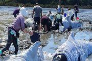 97 Paus Pilot dan 3 Lumba-lumba Mati Terdampar Massal di Selandia Baru