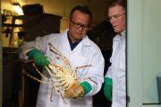 Bongkar Fakta Unik Akal-akalan Perusahan Baru Ekspor Benih Lobster