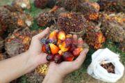 Harga CPO Bangkit, Produksi Tahun Depan Diprediksi Tumbuh 3,5%