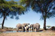 Namibia Lelang 170 Gajah Liar Bernilai Tinggi