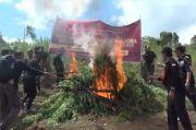 Sita 283 Kg Ganja, Bareskrim Polri Temukan 5 Hektare Ladang Ganja Ekor Bajing