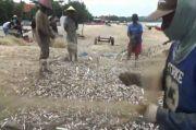 Fenomena Alam, Ribuan Ikan Lemuru Terdampar di Bibir Pantai Jimbaran Bali