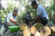 Asyiknya Berburu Durian di Aceh Selatan, dan Menikmatinya di Tepian Sungai