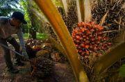 Luhut Aja Berterima Kasih, Industri Kelapa Sawit Buka Jutaan Lapangan Kerja