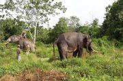 12 Gajah Liar Lampung Barat Gagal Dihalau, Malah Ngamuk dan Injak Warga