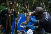 30 Kukang Jawa Dilepasliarkan di Taman Nasional Gunung Halimun Salak