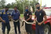 Mangsa Ternak Warga, Ular Sanca Sepanjang 6 Meter Ditangkap