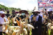 Stok Melimpah, Inilah 10 Provinsi Produsen Jagung Terbesar di Indonesia