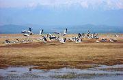 India Kalang Kabut, 350.000 Unggas Mati Akibat Flu Burung