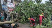 Tak Ada Angin dan Hujan Tiba-tiba Pohon Tumbang, Empat Motor Jadi Korban