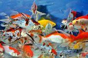 Budidaya Ikan Hias Tingkatkan Pendapatan Masyarakat di Tengah Pandemi