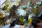 Garut Gempar, Antorium dan Philodendron Ditukar Rumah Setengah Miliar