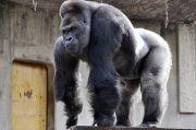Gorila di Kebun Binatang San Diego Tertular Virus Corona