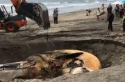Paus Great White Sepanjang 13,8 Meter Ditemukan Mati di Pantai Canggu Bali