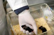 Suntikan Protein, Ilmuwan Jerman Membuat Tikus Lumpuh Kembali Berjalan