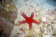 Fosil Kecil dari Maroko Diketahui Merupakan Nenek Moyang Bintang Laut