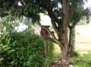 Pringsewu Geger, Kakek Ikhsan Gantung Diri di Pohon Mangga