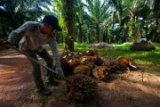 Dana Sawit untuk Subsidi Biodiesel Disebut Tak Berikan Manfaat Besar