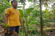 Langka, Pohon Pisang Sudah Ditebang Malah Berbuah Lagi