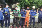 Bersarang di Pohon Bambu, Petugas Damkar Jaktim Tangkap Ular Sanca 2,5 Meter