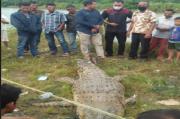 Buaya Sepanjang 4 Meter Ditangkap Pawang, Sampai di Darat Mati