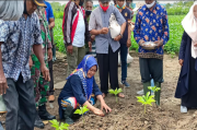 15 Ribuan Porang Ditanam Perdana Petani Nimbokrang
