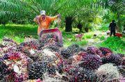 Produktivitas Sawit Indonesia Kalah dari Malaysia, Ini Penyebabnya