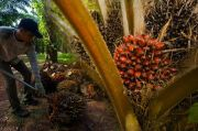 Pakai Bibit Murah, Produktivitas Perkebunan Sawit Mandiri Rendah