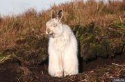 Populasi Kelinci Gunung di Taman Nasional Peak Distrik Inggris Terancam Punah