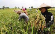 Tanda Sukses, Minggu Ini Food Estate Pulang Pisau Panen Raya