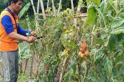 Harga Tak Manusiawi, Petani Tomat di Lembang Relakan Tanamannya Membusuk