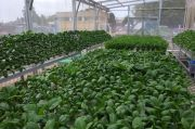 Bentuk Urban Farming, Sarana Jaya Hadir di Tengah Pandemi